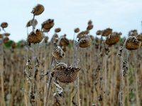 Pogłębia się susza w Polsce
